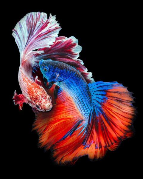 hình ảnh con cá chọi
