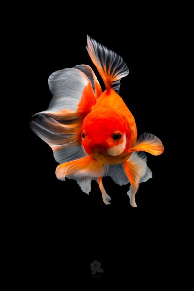 hình ảnh con cá vàng