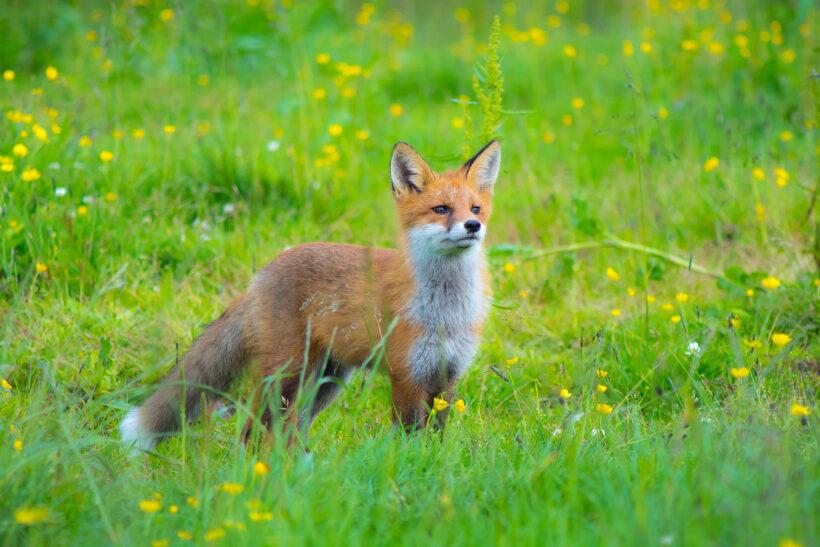 hình ảnh con cáo đẹp nhất trên bãi cỏ xanh