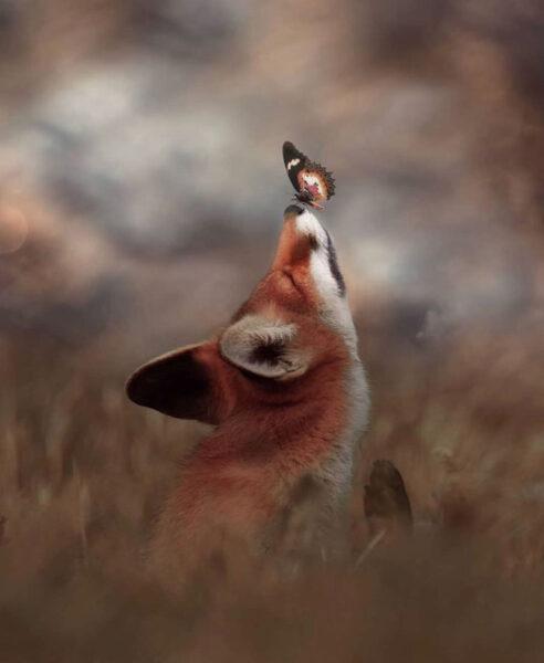 hình ảnh con cáo và chú bướm
