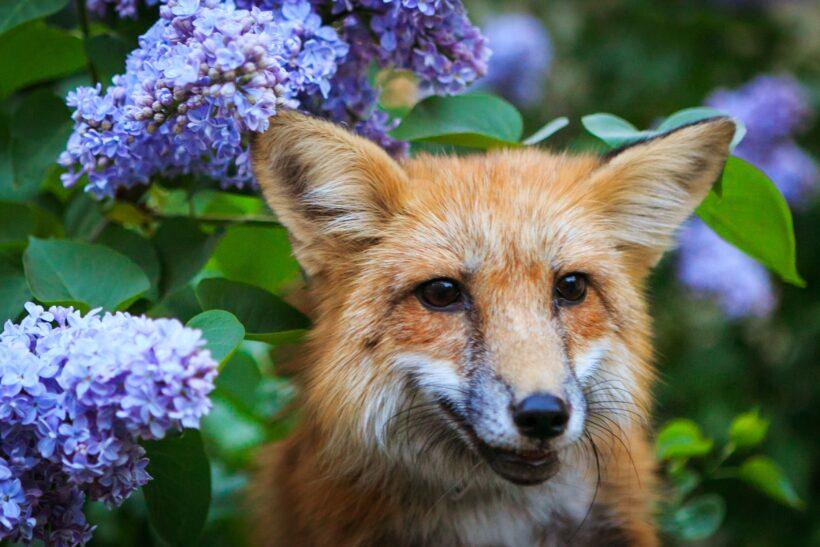 hình ảnh con cáo vá hoa