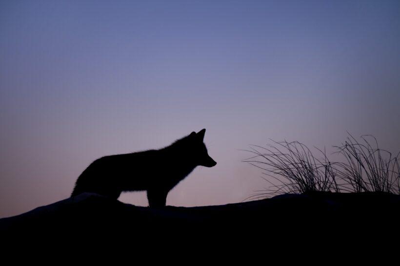 hình ảnh con cáo vào ban đêm