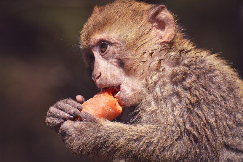 Hình ảnh con khỉ dễ thương đang ăn cà rốt