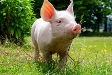 Hình ảnh con lợn đi dạo trên bãi cỏ