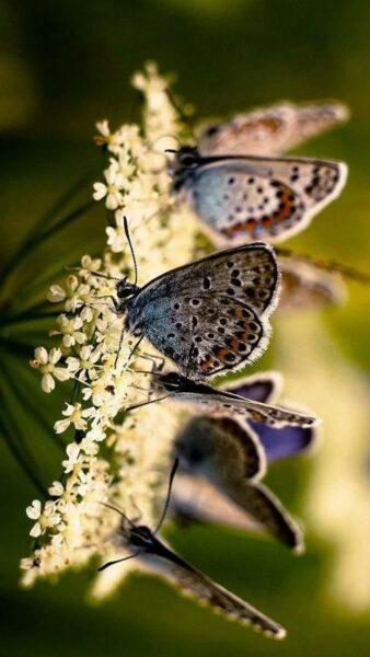 hình ảnh đàn bướm đang hút mật hoa
