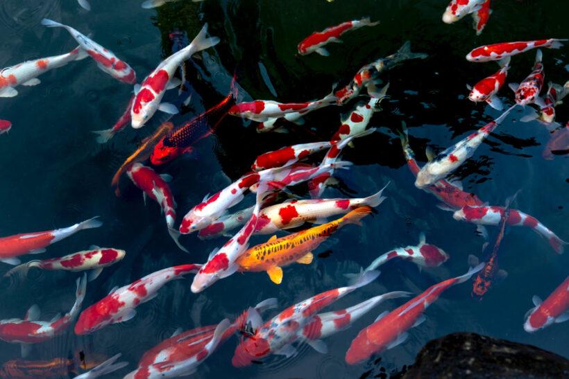 hình ảnh đàn cá koi