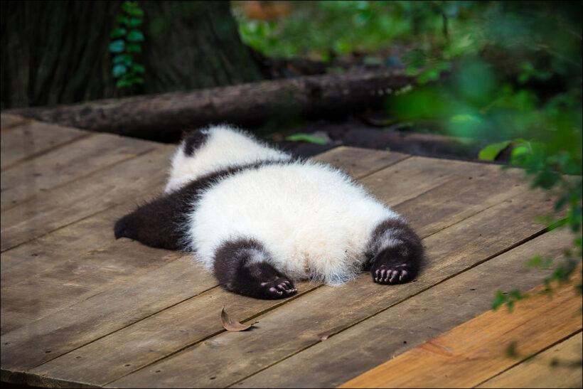 hình ảnh gấu trúc con nằm ngủ