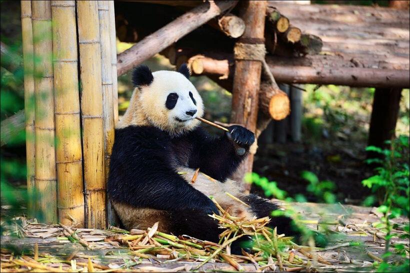 hình ảnh gấu trúc đang ngồi ăn