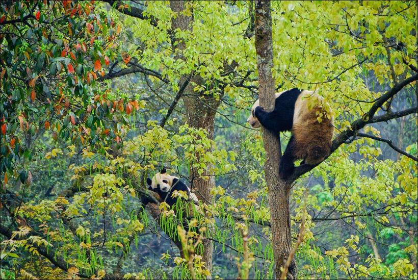 hình ảnh gấu trúc trèo cây
