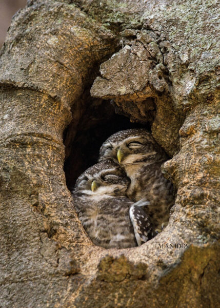 hình ảnh tổ chim cú mèo