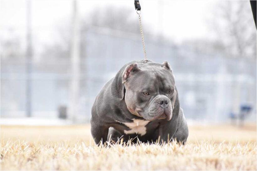 tải hình ảnh chó pitbull