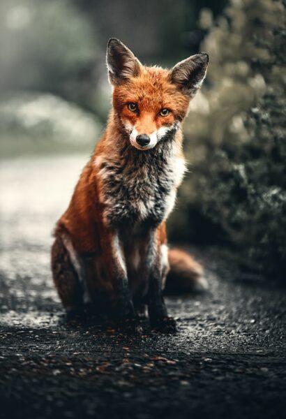 tổng hợp hình ảnh con cáo