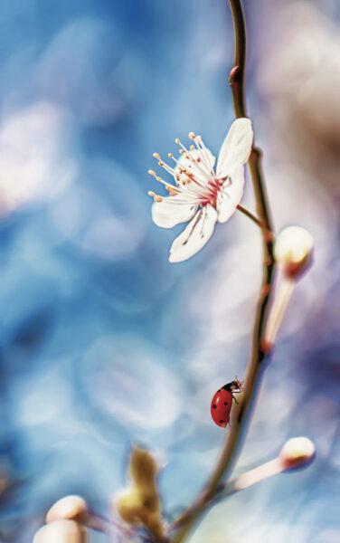 tranh mùa xuân nhành đào và bọ cánh cam