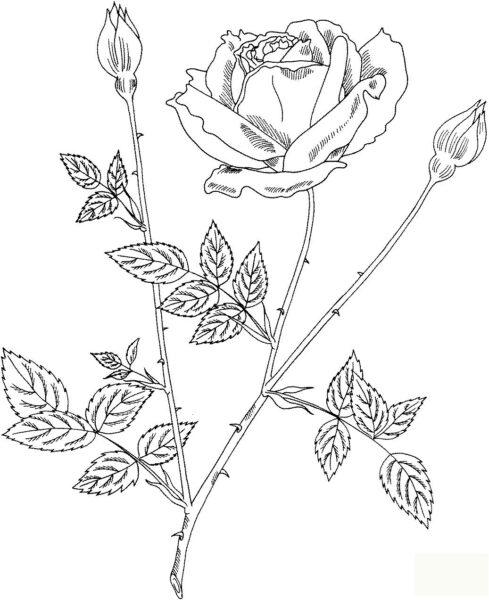 Tranh tô màu cành hoa hồng