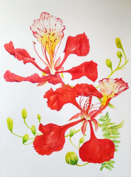Tranh vẽ hình ảnh cây phượng