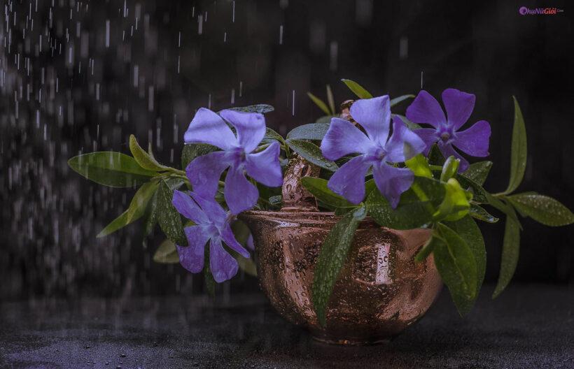 hìn ảnh mưa rơi buồn và chậu hoa