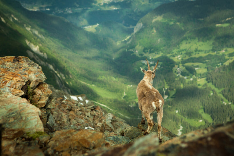 hình ảnh con dê trên núi cao