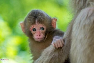 hình ảnh con khỉ dễ thương đẹp nhất