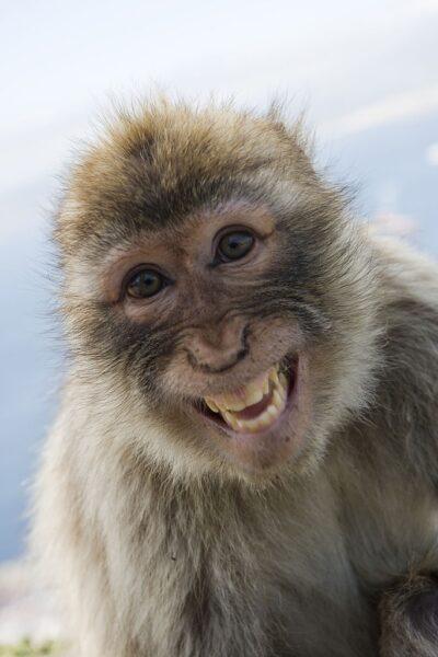 hình ảnh con khỉ dễ thương nhe răng cười