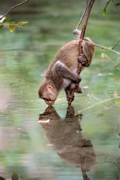 hình ảnh con khỉ dễ thương uống nước