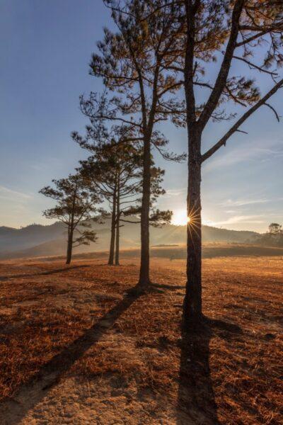 hình ảnh đà lạt cây thông và cỏ vàng