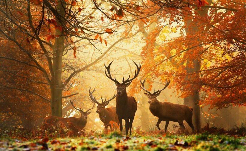 hình ảnh đàn hươu giữa rừng lá vàng mùa thu