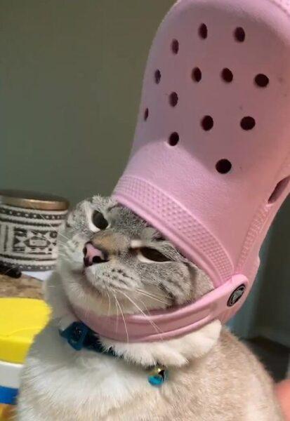 hình ảnh mèo đội dép cười đau bụng