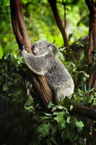 hình ảnh mệt mỏi đáng yêu của chú gấu Koala