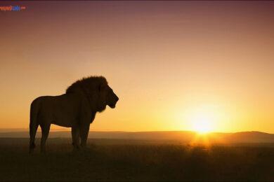 hình ảnh sư tử