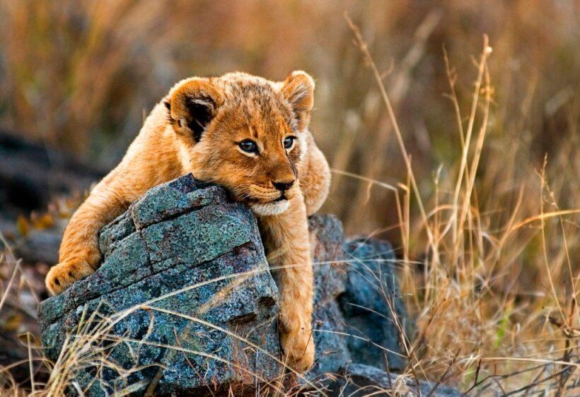 hình ảnh sư tử con đáng yêu