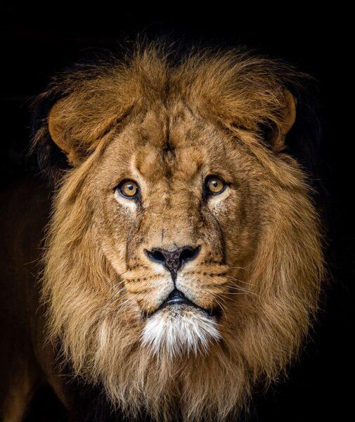 hình ảnh sư tử đẹp làm hình nền