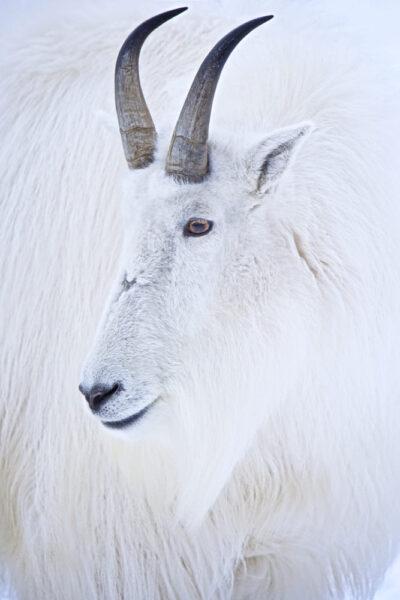 hình dê trắng đẹp nhất