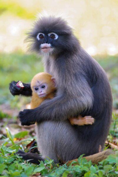 khỉ mẹ con - hình ảnh con khỉ dễ thương