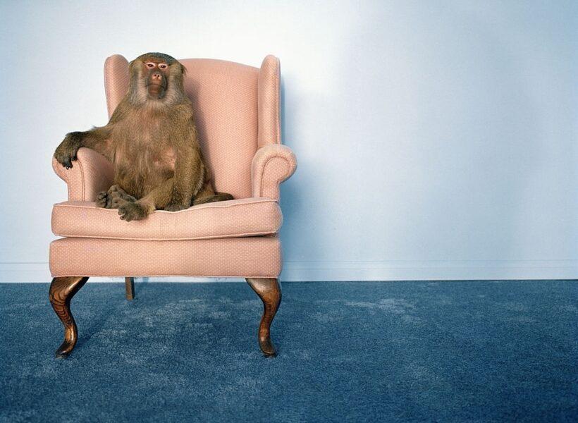 khỉ ngồi trên ghế - hình ảnh con khỉ dễ thương