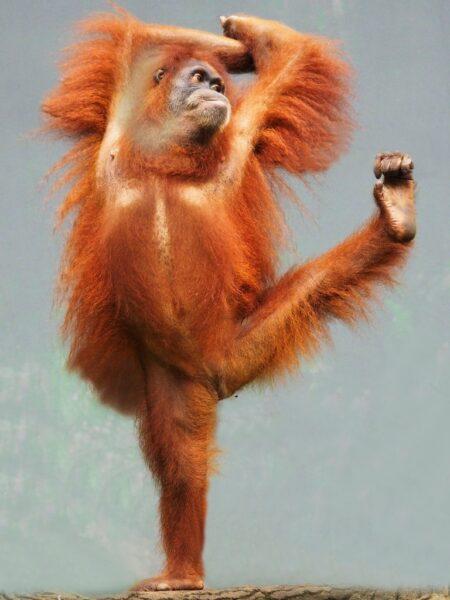 khì nhảy múa - hình ảnh con khỉ dễ thương