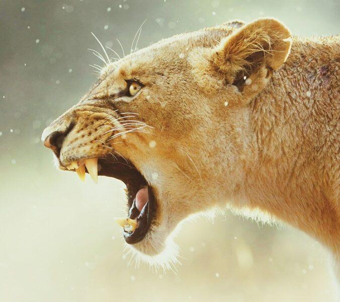 sư tử cái - hình ảnh sư tử đẹp