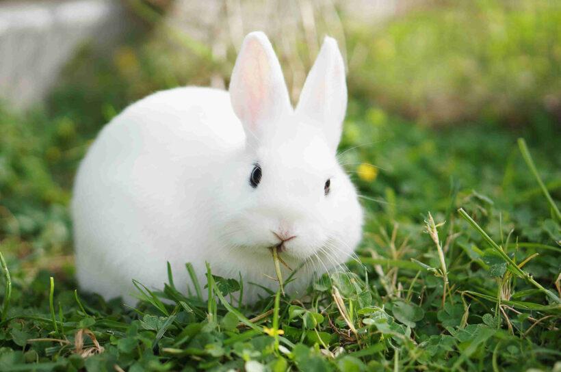 ảnh con thỏ đang gặm cỏ