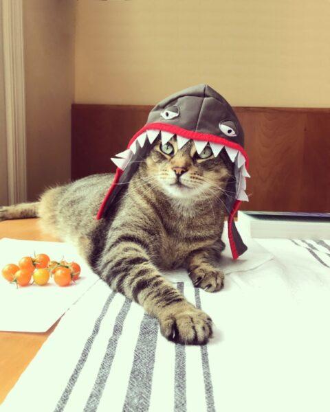 mèo đội mũ - hình ảnh ngộ nghĩnh đáng yêu