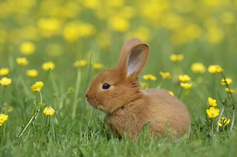 thỏ nâu - ảnh con thỏ cute
