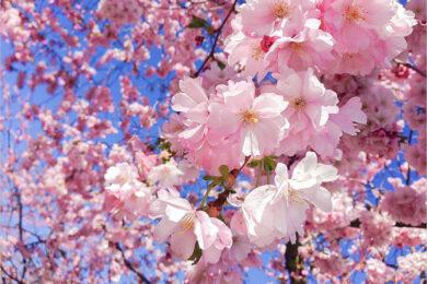 Hình ảnh hoa Anh Đào đẹp nhất