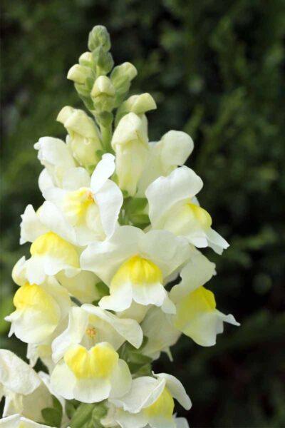 hình ảnh hoa mõm chó vàng trắng đẹp