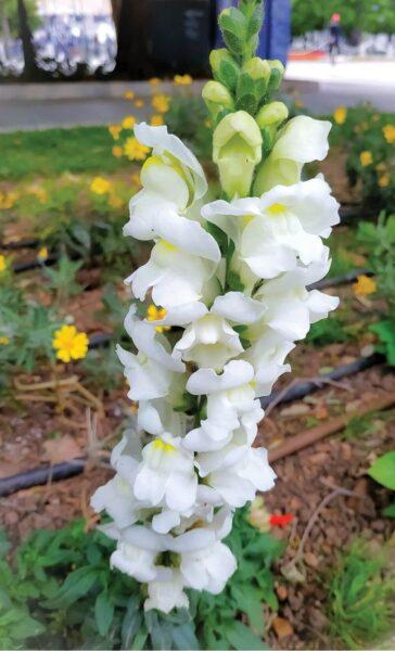 hình ảnh hoa mõm sói màu trắng
