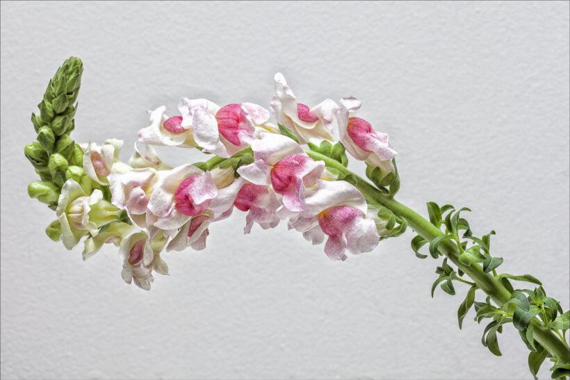hình ảnh hoa mõm sói trắng hồng đẹp